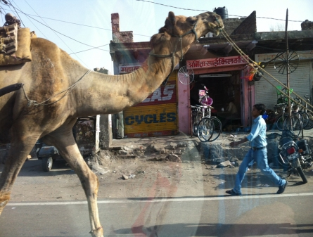 A camel out for a stroll.