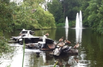 The ducks in Vondelpark