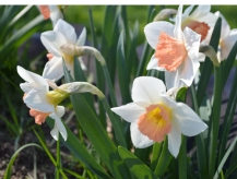 Beautiful salmon pink, yellow and white daffodils